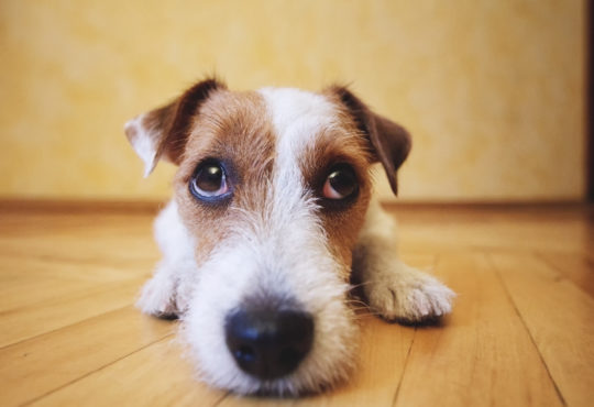 CLOSE UP OF TERRIER DOG LAYING ON THE FLOOR LOOKING UP